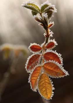 frosty_leaves.jpg