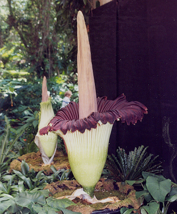 Selby Garden - World's Largest Flower (Titan Arum) (CC BY-SA 2.0) by Roger Wollstadt