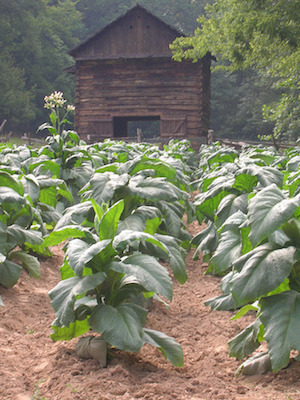 Tobacco (CC BY-SA 2.0) by Land Between the Lakes...