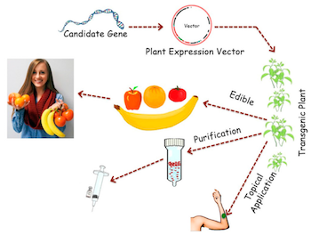 Diagrammatic illustration of the process of Plant Molecular Farming (PMF). (Figure 1 from Ref. 5 below)