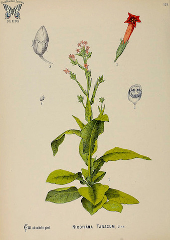 Tobacco. Nicotiana tabacum. (CC BY 2.0) by Swallowtail Garden Seeds
