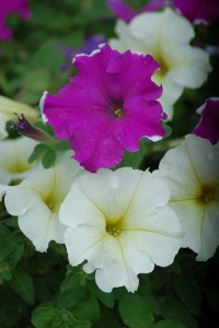 Magenta and White Petunias (CC BY-SA 2.0) Katrina J Houdek