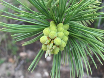 Limber pine (CC BY 2.0) by Malcolm Manners