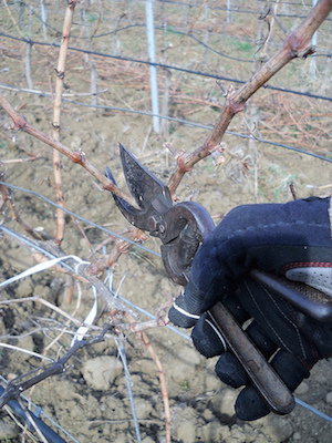 Vineyard pruning (CC BY-SA 2.0) by Michael Cannon