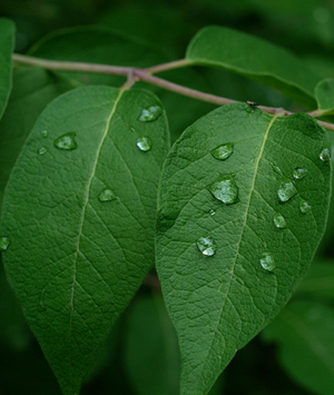 Water droplets on leaves (CC BY-SA 2.0) by Ilona L