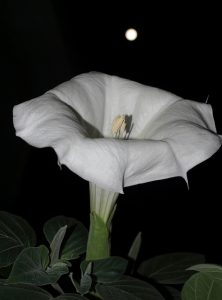 Full Moonflower (CC BY 2.0) by Frank Boston